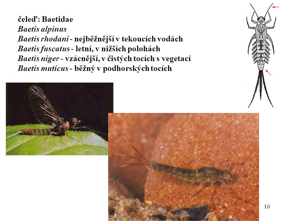 10 čeleď: Baetidae Baetis alpinus Baetis rhodani - nejběžnější v tekoucích vodách Baetis fuscatus - letní, v nižších polohách Baetis niger - vzácnější, v čistých tocích s vegetací Baetis muticus - běžný v podhorských tocích