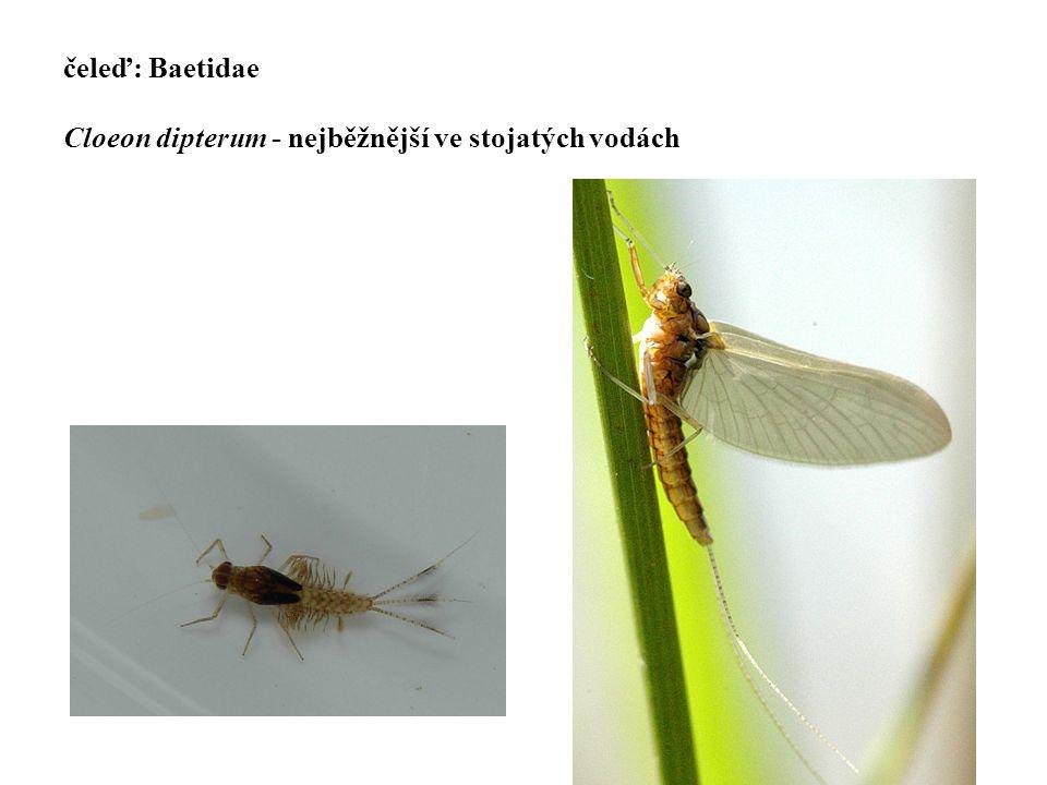 11 čeleď: Baetidae Cloeon dipterum - nejběžnější ve stojatých vodách