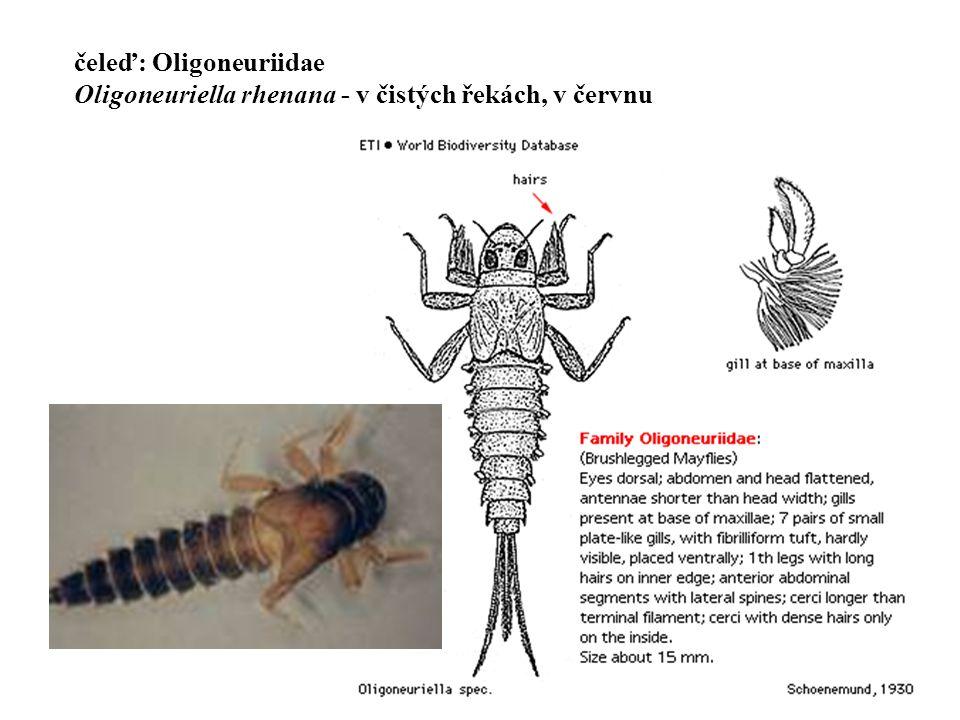 12 čeleď: Oligoneuriidae Oligoneuriella rhenana - v čistých řekách, v červnu