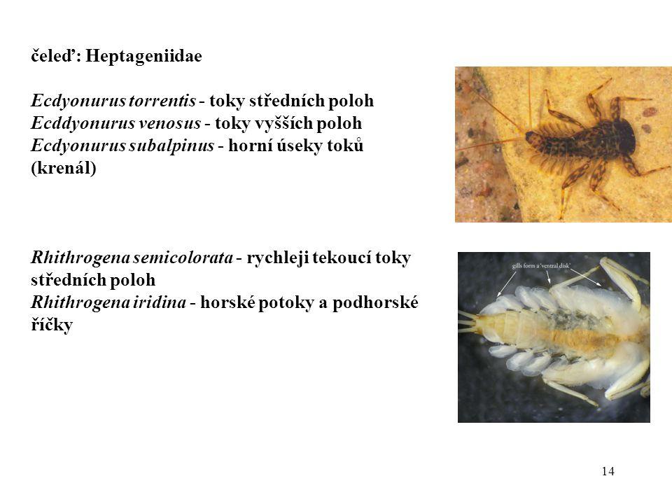 14 čeleď: Heptageniidae Ecdyonurus torrentis - toky středních poloh Ecddyonurus venosus - toky vyšších poloh Ecdyonurus subalpinus - horní úseky toků (krenál) Rhithrogena semicolorata - rychleji tekoucí toky středních poloh Rhithrogena iridina - horské potoky a podhorské říčky