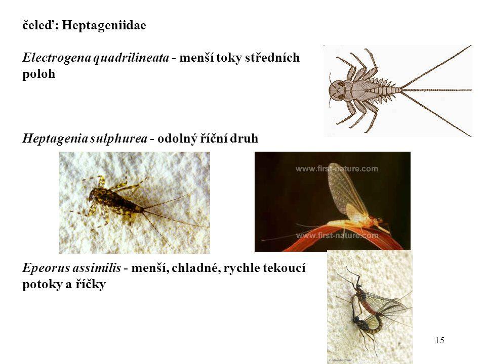 15 čeleď: Heptageniidae Electrogena quadrilineata - menší toky středních poloh Heptagenia sulphurea - odolný říční druh Epeorus assimilis - menší, chladné, rychle tekoucí potoky a říčky