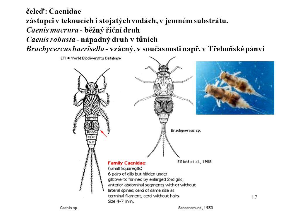17 čeleď: Caenidae zástupci v tekoucích i stojatých vodách, v jemném substrátu.