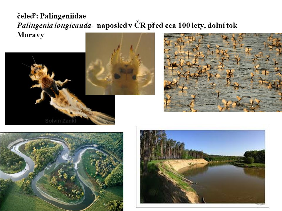 21 čeleď: Palingeniidae Palingenia longicauda- naposled v ČR před cca 100 lety, dolní tok Moravy