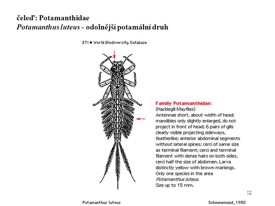 22 čeleď: Potamanthidae Potamanthus luteus - odolnější potamální druh