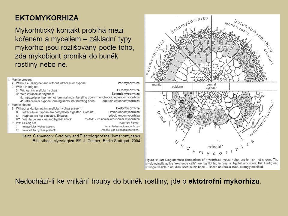 EKTOMYKORHIZA Mykorhitický kontakt probíhá mezi kořenem a myceliem – základní typy mykorhiz jsou rozlišovány podle toho, zda mykobiont proniká do buně
