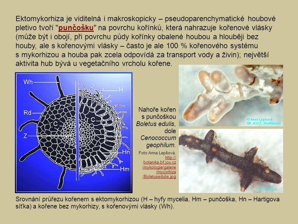 Ektomykorhiza je viditelná i makroskopicky – pseudoparenchymatické houbové pletivo tvoří