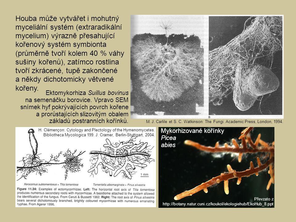Houba může vytvářet i mohutný myceliální systém (extraradikální mycelium) výrazně přesahující kořenový systém symbionta (průměrně tvoří kolem 40 % váh