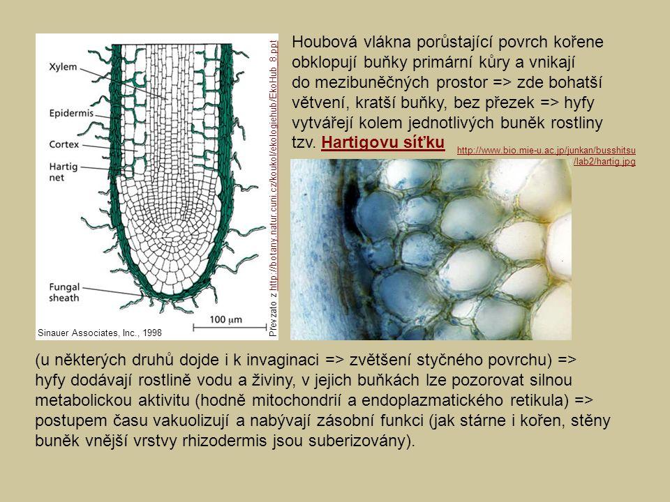 Houbová vlákna porůstající povrch kořene obklopují buňky primární kůry a vnikají do mezibuněčných prostor => zde bohatší větvení, kratší buňky, bez př