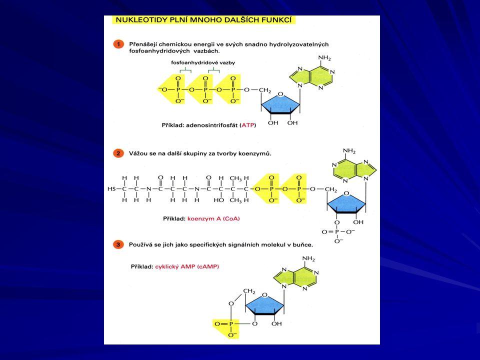 PRIMÁRNÍ STRUKTURA NUKLEOVÝCH KYSELIN je dána pořadím jednotlivých nukleotidů v polynukleotidovém řetězci nukleotidy jsou navzájem spojeny 3´, 5´- fosfodiesterovou vazbou –OH skupina na C3 - 3´- konec –OH skupina na C3 - 3´- konec fosfátová skupina na C5 - 5´- konec
