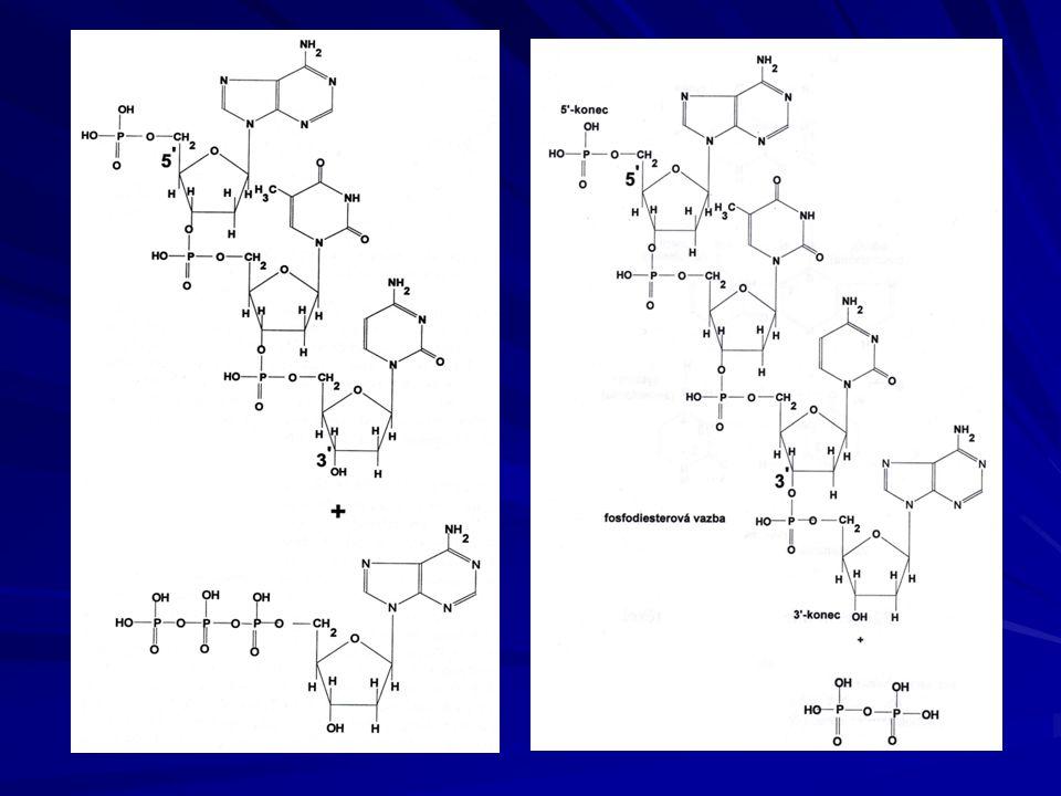 Strukturní typy nukleových kyselin lineární molekuly- mají volné konce a mohou být: jednořetězcové DNA nebo RNA dvouřetězcové DNA nebo RNA kružnicové molekuly – nemají volné konce a mohou být: jednořetězcové DNA nebo RNA dvouřetězcové DNA nebo RNA tří až čtyřřetězcové molekuly DNA jednořetězcové se označují ss = single stranded dvouřetězcové ds = double stranded