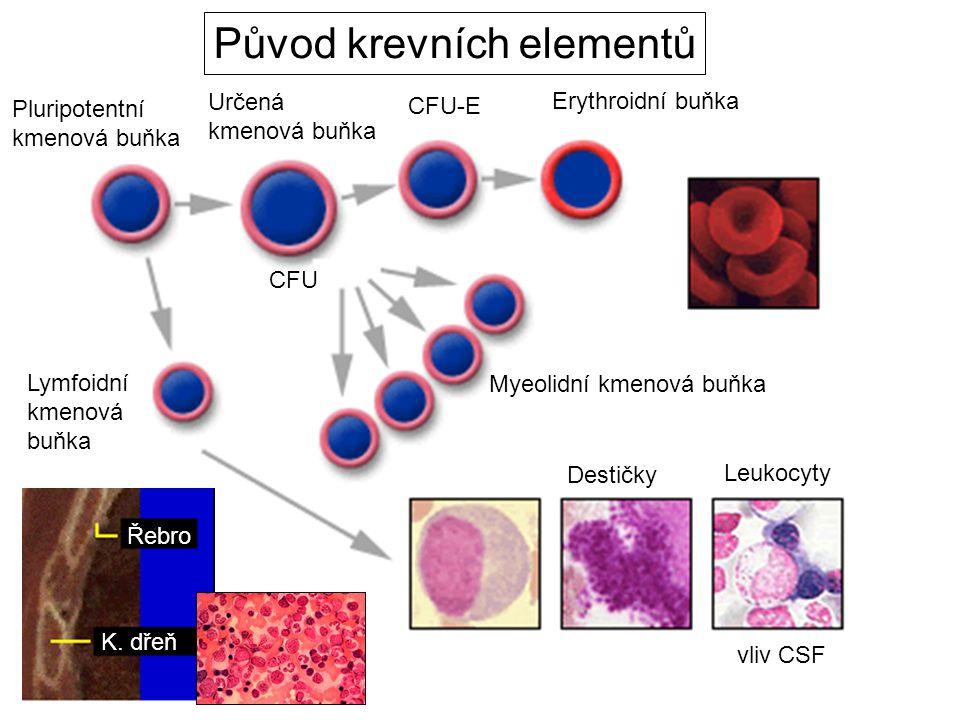 Pluripotentní kmenová buňka Určená kmenová buňka CFU-E CFU Lymfoidní kmenová buňka Leukocyty Destičky Řebro K.