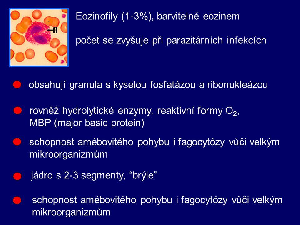 Eozinofily (1-3%), barvitelné eozinem počet se zvyšuje při parazitárních infekcích obsahují granula s kyselou fosfatázou a ribonukleázou rovněž hydrolytické enzymy, reaktivní formy O 2, MBP (major basic protein) schopnost amébovitého pohybu i fagocytózy vůči velkým mikroorganizmům jádro s 2-3 segmenty, brýle schopnost amébovitého pohybu i fagocytózy vůči velkým mikroorganizmům