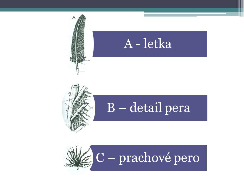 A – LETKA p – prapor o – osten b – brk B- DETAIL PERA pa – paprsky v - větve C – PRACHOVÉ PERO