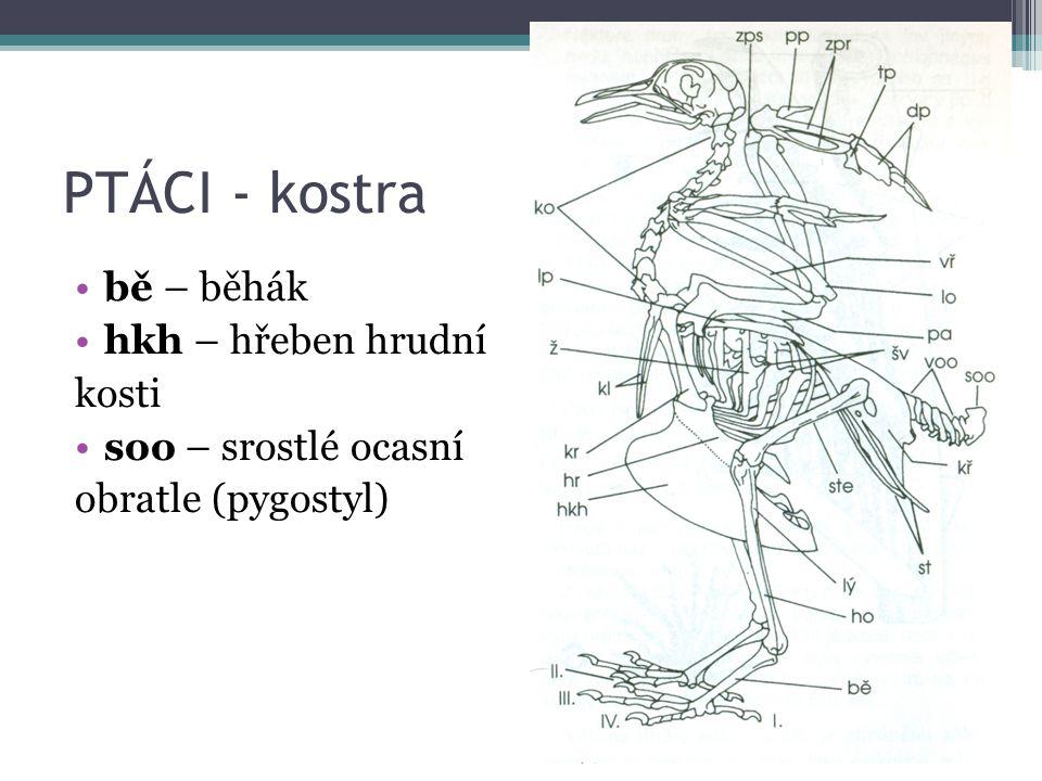 PTÁCI - kostra bě – běhák hkh – hřeben hrudní kosti soo – srostlé ocasní obratle (pygostyl)