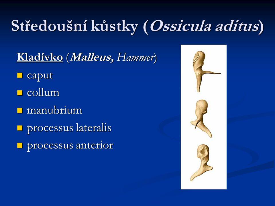 Středoušní kůstky (Ossicula aditus) Kladívko (Malleus, Hammer) caput caput collum collum manubrium manubrium processus lateralis processus lateralis processus anterior processus anterior