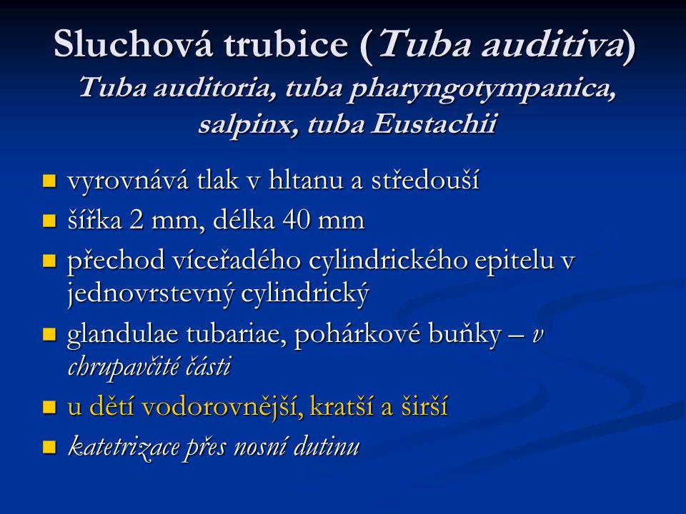 Sluchová trubice (Tuba auditiva) Tuba auditoria, tuba pharyngotympanica, salpinx, tuba Eustachii vyrovnává tlak v hltanu a středouší vyrovnává tlak v hltanu a středouší šířka 2 mm, délka 40 mm šířka 2 mm, délka 40 mm přechod víceřadého cylindrického epitelu v jednovrstevný cylindrický přechod víceřadého cylindrického epitelu v jednovrstevný cylindrický glandulae tubariae, pohárkové buňky – v chrupavčité části glandulae tubariae, pohárkové buňky – v chrupavčité části u dětí vodorovnější, kratší a širší u dětí vodorovnější, kratší a širší katetrizace přes nosní dutinu katetrizace přes nosní dutinu