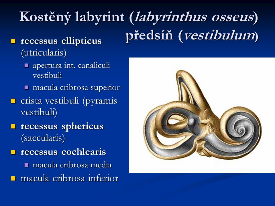 Kostěný labyrint (labyrinthus osseus) předsíň (vestibulum ) recessus ellipticus (utricularis) recessus ellipticus (utricularis) apertura int. canalicu