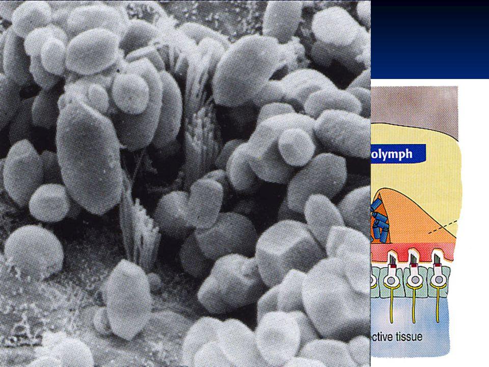 Otolitické orgány saculus et utriculus makula makula vláskové buňky vláskové buňky podpůrné buňky podpůrné buňky gelová vrstva gelová vrstva oto conia - krystaly CaCO 3 oto conia - krystaly CaCO 3 (otolithy – termín pro krystaly u plazů) (otolithy – termín pro krystaly u plazů)