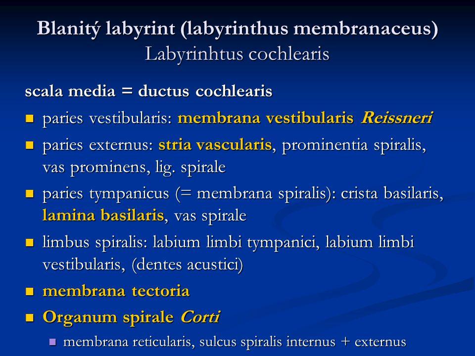 Blanitý labyrint (labyrinthus membranaceus) Labyrinhtus cochlearis scala media = ductus cochlearis paries vestibularis: membrana vestibularis Reissneri paries vestibularis: membrana vestibularis Reissneri paries externus: stria vascularis, prominentia spiralis, vas prominens, lig.