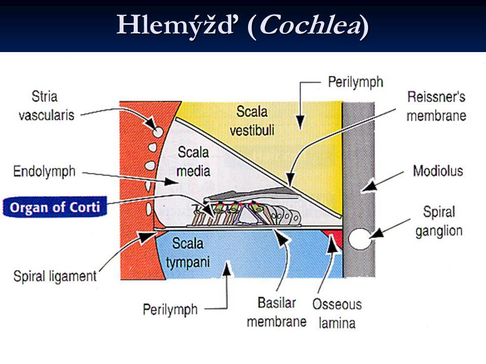 Hlemýžď (Cochlea)