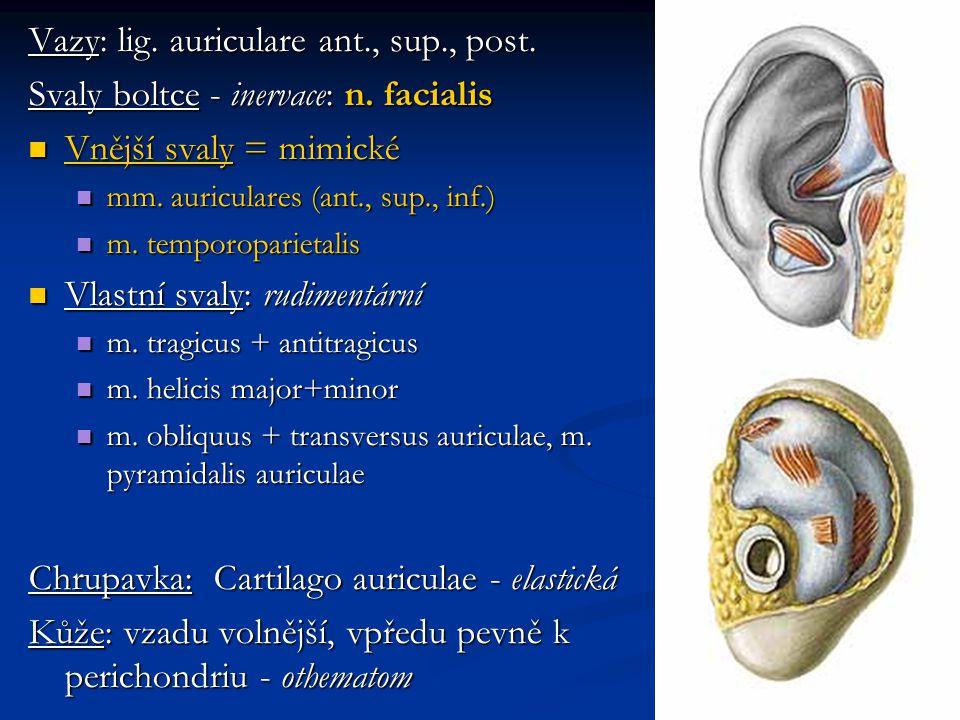 Vazy: lig. auriculare ant., sup., post. Svaly boltce - inervace: n. facialis Vnější svaly = mimické Vnější svaly = mimické mm. auriculares (ant., sup.