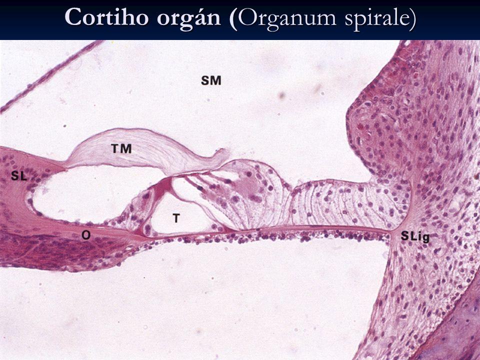 Cortiho orgán (Organum spirale) vláskové buňky vláskové buňky vnější (3-4 řady) a vnitřní (1 řada) vnější (3-4 řady) a vnitřní (1 řada) na povrchu stereocilie na povrchu stereocilie vrcholy zabořeny do membrana tectoria vrcholy zabořeny do membrana tectoria mezi nimi Nuelův prostor mezi nimi Nuelův prostor podpůrné buňky podpůrné buňky pilířové (Cortiho) - ohraničují vnitřní tunel pilířové (Cortiho) - ohraničují vnitřní tunel falangeální (Deitersovy) - obalují vláskové buňky falangeální (Deitersovy) - obalují vláskové buňky zevní popůrné – cylindrické Hensenovy a kubické Claudiusovy zevní popůrné – cylindrické Hensenovy a kubické Claudiusovy