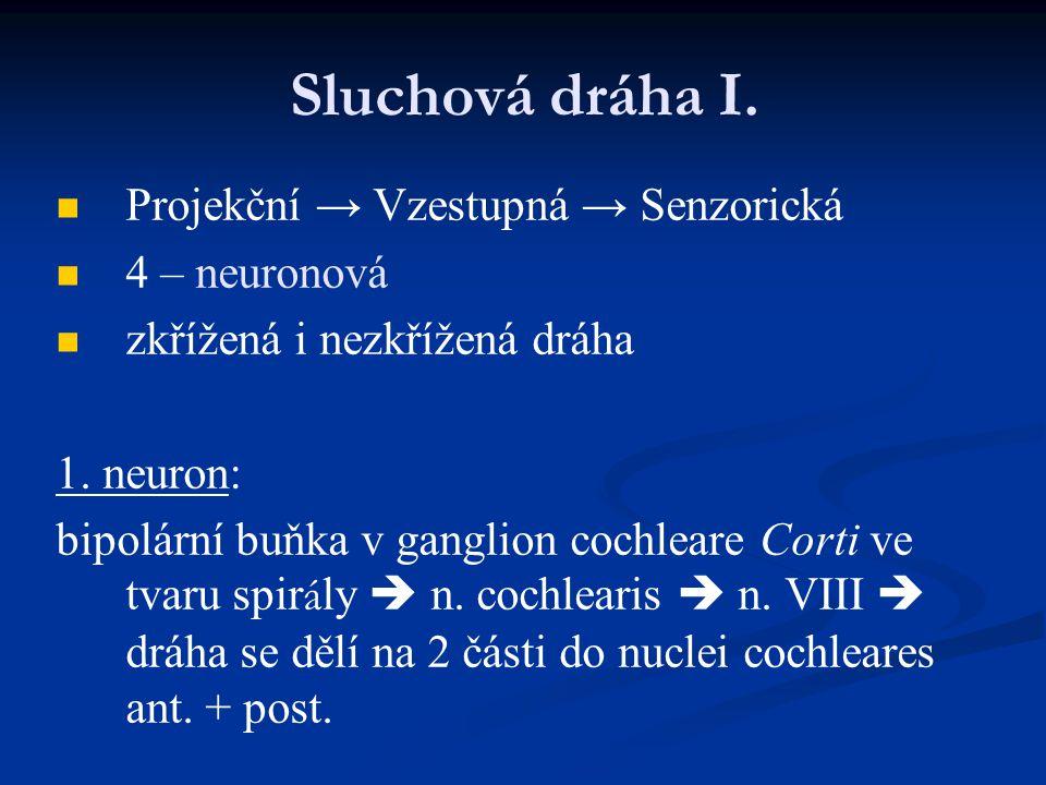 Sluchová dráha I. Projekční → Vzestupná → Senzorická 4 – neuronová zkřížená i nezkřížená dráha 1. neuron: bipolární buňka v ganglion cochleare Corti v