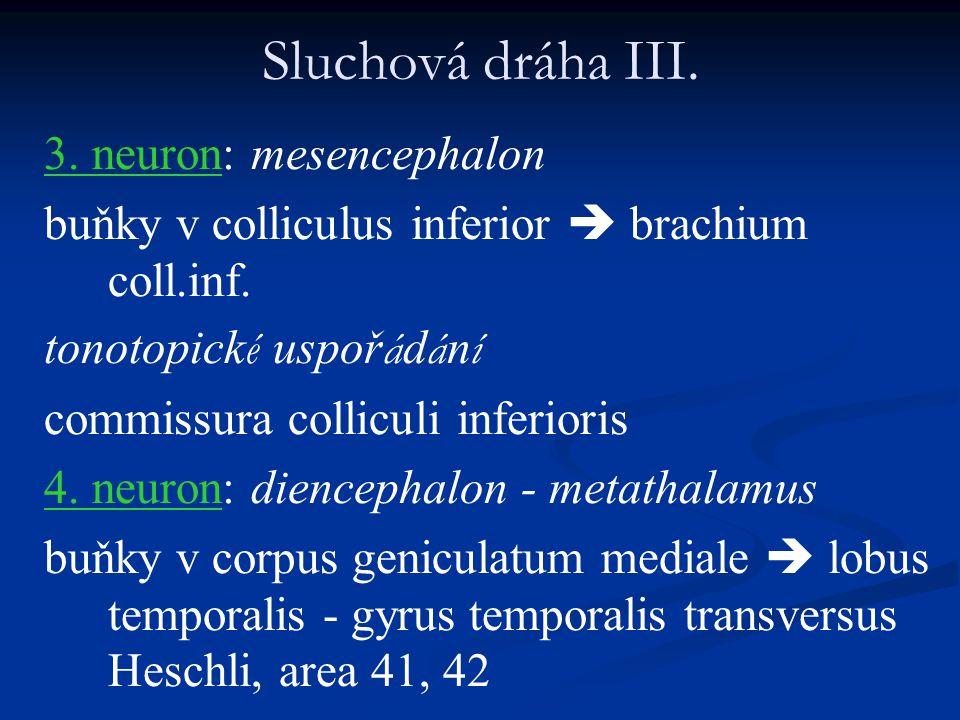 Sluchová dráha III. 3. neuron: mesencephalon buňky v colliculus inferior  brachium coll.inf. tonotopick é uspoř á d á n í commissura colliculi inferi