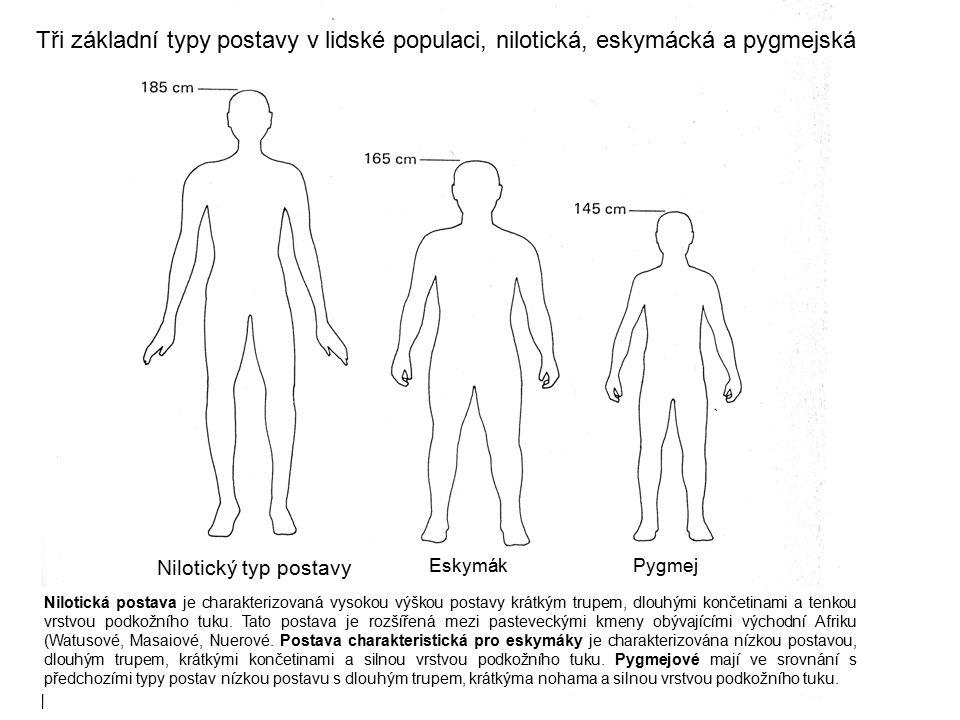 Tři základní typy postavy v lidské populaci, nilotická, eskymácká a pygmejská Nilotická postava je charakterizovaná vysokou výškou postavy krátkým tru