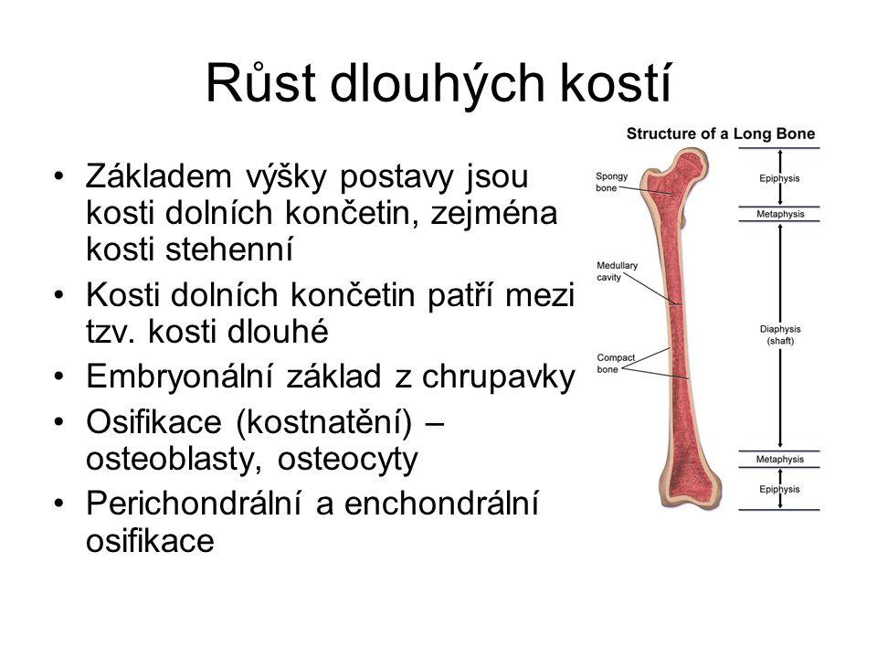 Růst dlouhých kostí Základem výšky postavy jsou kosti dolních končetin, zejména kosti stehenní Kosti dolních končetin patří mezi tzv. kosti dlouhé Emb