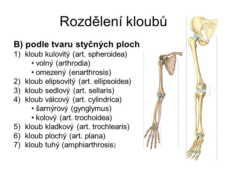 Rozdělení kloubů B) podle tvaru styčných ploch 1)kloub kulovitý (art. spheroidea) volný (arthrodia) omezený (enarthrosis) 2)kloub elipsovitý (art. ell