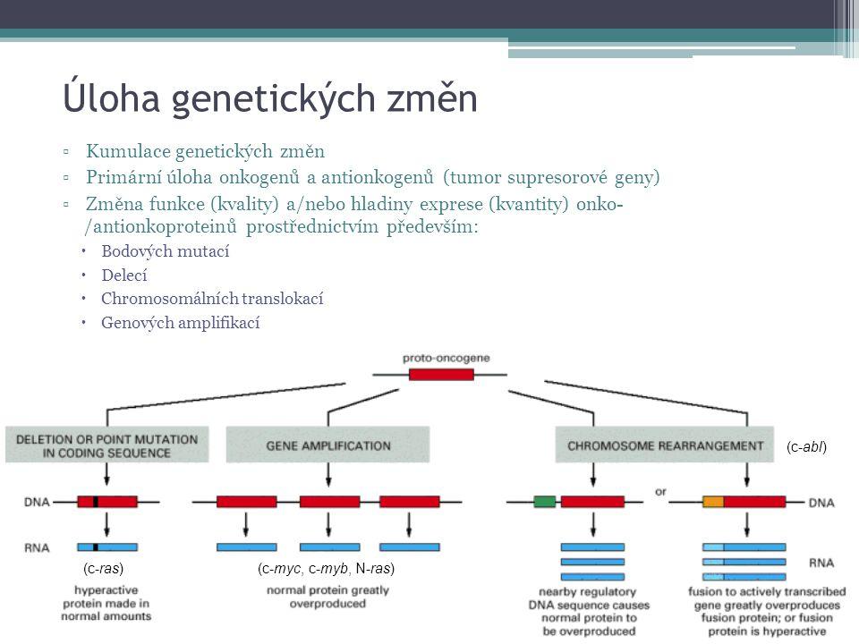 Úloha genetických změn ▫Kumulace genetických změn ▫Primární úloha onkogenů a antionkogenů (tumor supresorové geny) ▫Změna funkce (kvality) a/nebo hlad