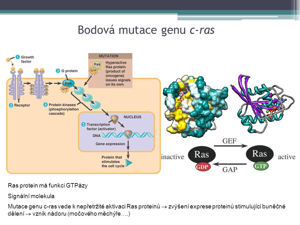 Ras protein má funkci GTPázy Signální molekula Mutace genu c-ras vede k nepřetržité aktivaci Ras proteinů  zvýšení exprese proteinů stimulující buněč