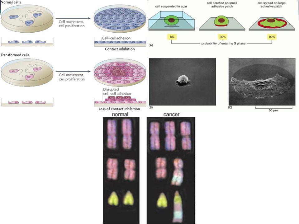 Mechanismy transformace Několikastupňový proces (incidence koreluje s věkem) Nevratný proces Pod selekčním tlakem Spontánní x indukovaný Genetické změny (mutace): ▫Frekvence vzniku nádoru 10 -8 (zahrnuje 4 mutace, frekvence vzniku spontánní mutace 10 -6, počet buněčných dělení 10 16 )  1 člověk ze 100 milionů x skutečnost.