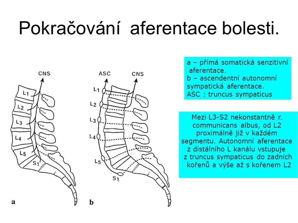 Pokračování aferentace bolesti. a – přímá somatická senzitivní aferentace. b – ascendentní autonomní sympatická aferentace. ASC : truncus sympaticus M