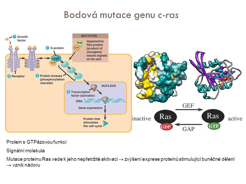 Protein s GTPázovou funkcí Signální molekula Mutace proteinu Ras vede k jeho nepřetržité aktivaci  zvýšení exprese proteinů stimulující buněčné dělení  vznik nádoru Bodová mutace genu c-ras Ras 24