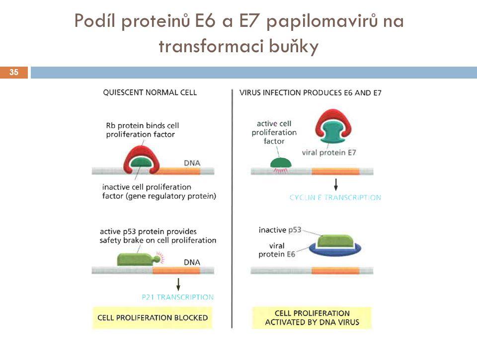 Podíl proteinů E6 a E7 papilomavirů na transformaci buňky 35