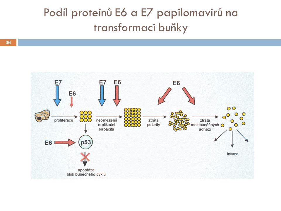 Podíl proteinů E6 a E7 papilomavirů na transformaci buňky 36