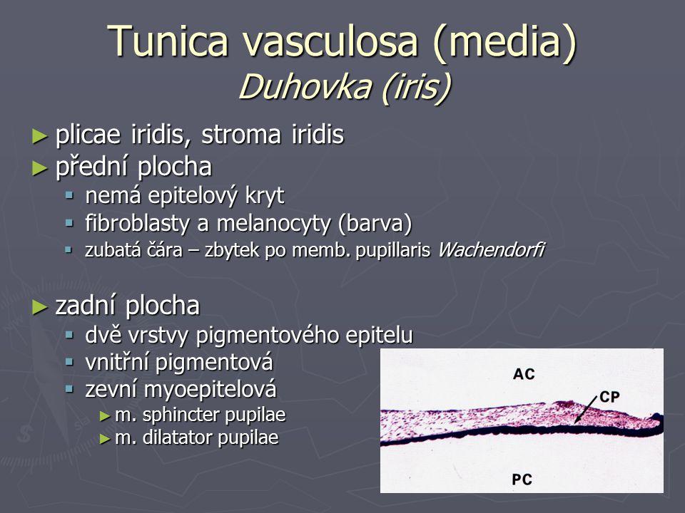 Tunica vasculosa (media) Duhovka (iris) ► plicae iridis, stroma iridis ► přední plocha  nemá epitelový kryt  fibroblasty a melanocyty (barva)  zubatá čára – zbytek po memb.