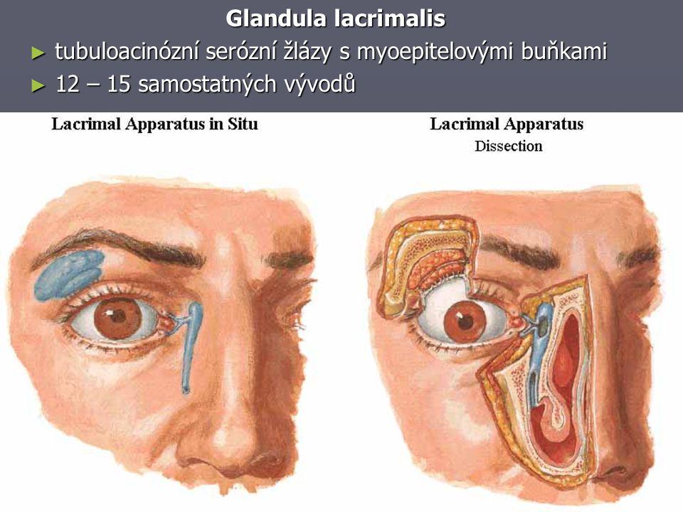 Glandula lacrimalis ► tubuloacinózní serózní žlázy s myoepitelovými buňkami ► 12 – 15 samostatných vývodů