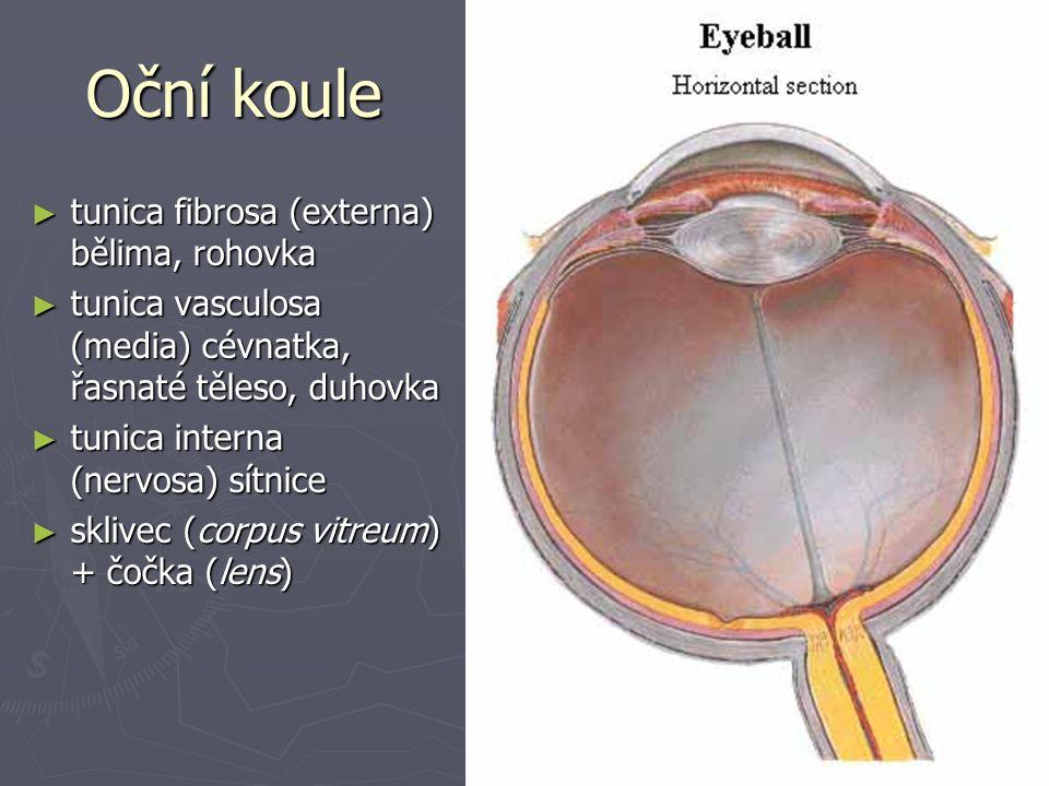 Oční koule ► tunica fibrosa (externa) bělima, rohovka ► tunica vasculosa (media) cévnatka, řasnaté těleso, duhovka ► tunica interna (nervosa) sítnice ► sklivec (corpus vitreum) + čočka (lens)