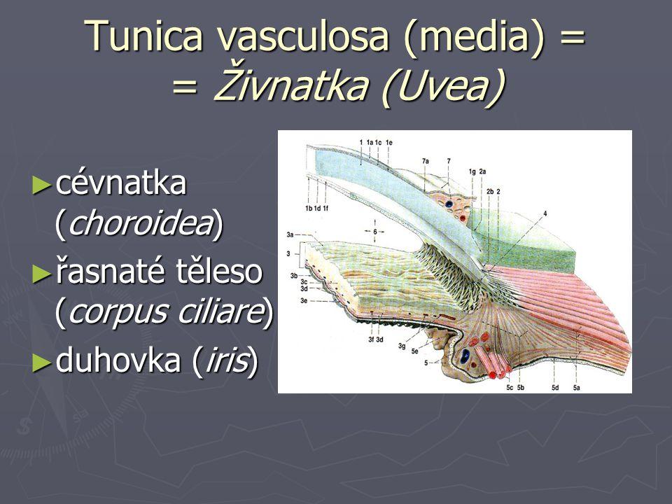 Tunica vasculosa (media) Cévnatka (choroidea) ► bohaté cévní sítě ► lamina suprachoroidea (= lamina fusca sclerae) ► spatium perichoroideum ► lamina vasculosa (choroidální stroma)  velké cévy, vazivo, hladké sv.