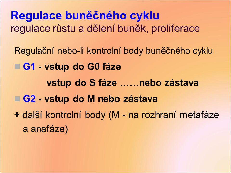 Regulace buněčného cyklu regulace růstu a dělení buněk, proliferace Regulační nebo-li kontrolní body buněčného cyklu G1 - vstup do G0 fáze vstup do S