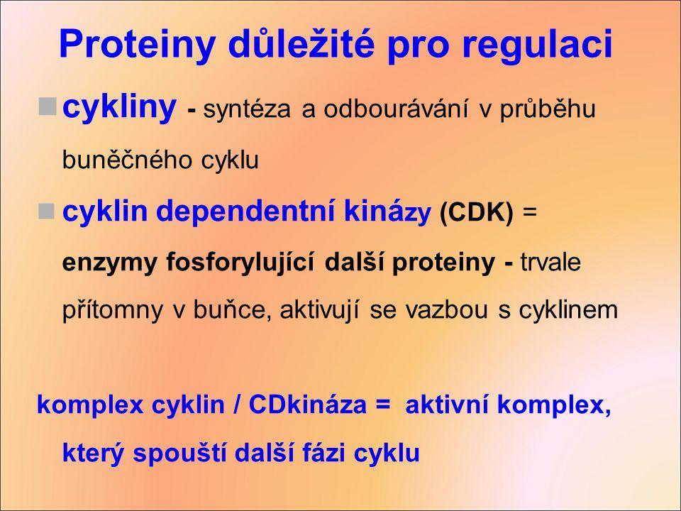 cykliny - syntéza a odbourávání v průběhu buněčného cyklu cyklin dependentní kiná zy (CDK) = enzymy fosforylující další proteiny - trvale přítomny v b