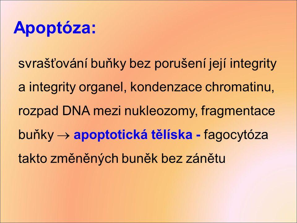 Apoptóza: svrašťování buňky bez porušení její integrity a integrity organel, kondenzace chromatinu, rozpad DNA mezi nukleozomy, fragmentace buňky  ap