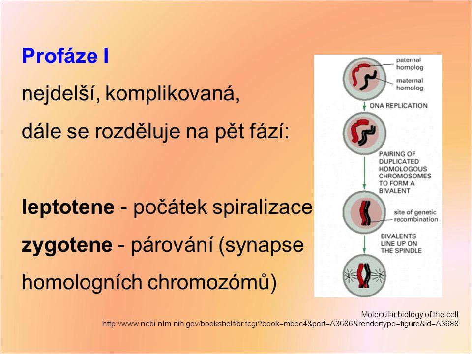 Profáze I nejdelší, komplikovaná, dále se rozděluje na pět fází: leptotene - počátek spiralizace zygotene - párování (synapse homologních chromozómů)