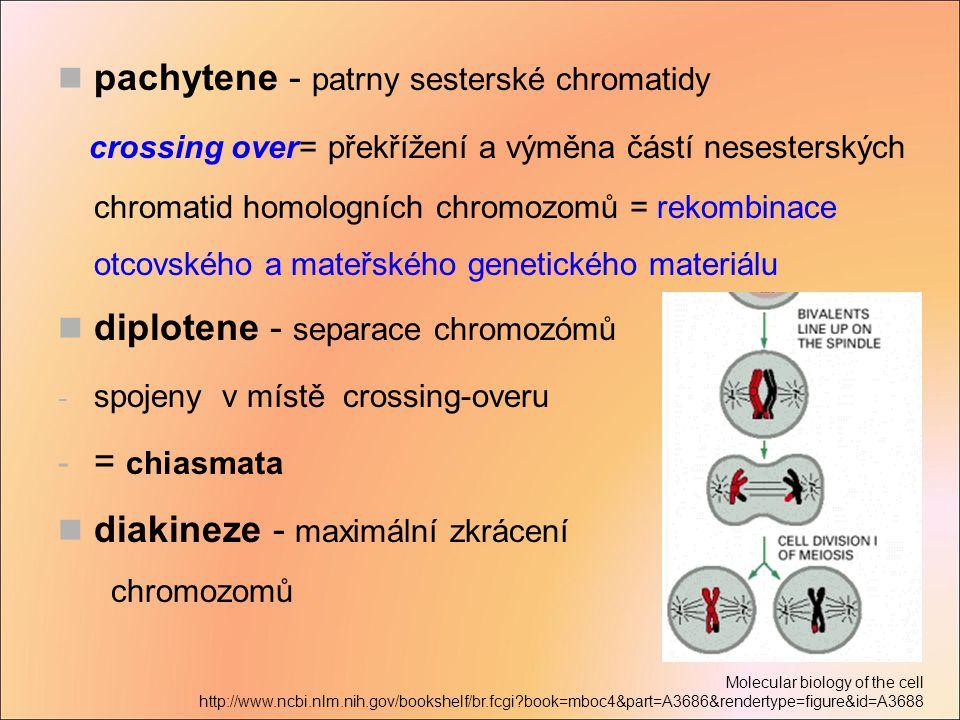 pachytene - patrny sesterské chromatidy crossing over= překřížení a výměna částí nesesterských chromatid homologních chromozomů = rekombinace otcovské