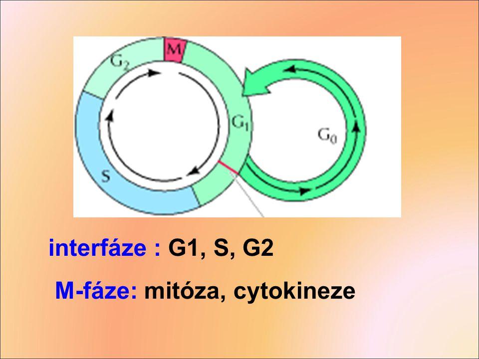 interfáze : G1, S, G2 M-fáze: mitóza, cytokineze