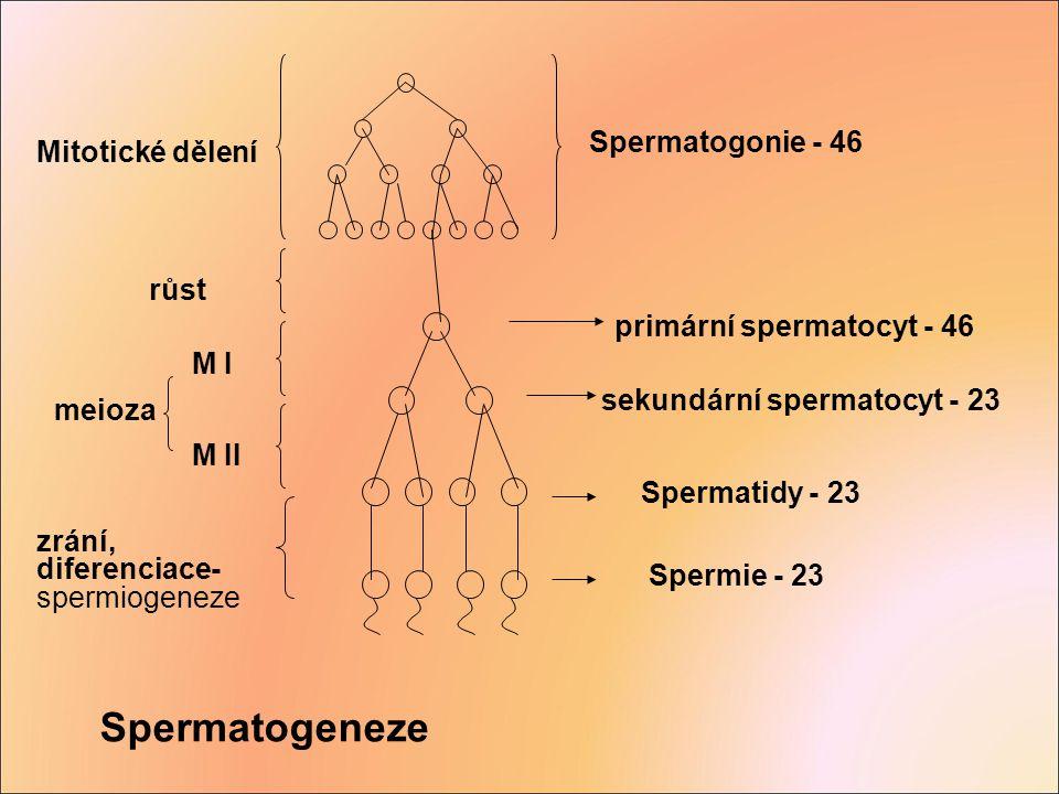 Spermatogonie - 46 Mitotické dělení primární spermatocyt - 46 sekundární spermatocyt - 23 Spermatidy - 23 Spermie - 23 růst M I M II meioza zrání, dif