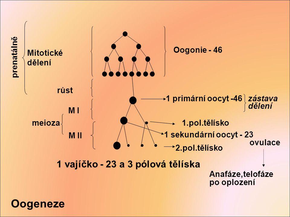 Oogeneze Oogonie - 46 Mitotické dělení 1 primární oocyt -46 1 sekundární oocyt - 23 růst M I M II meioza 1.pol.tělísko 2.pol.tělísko ovulace Anafáze,t